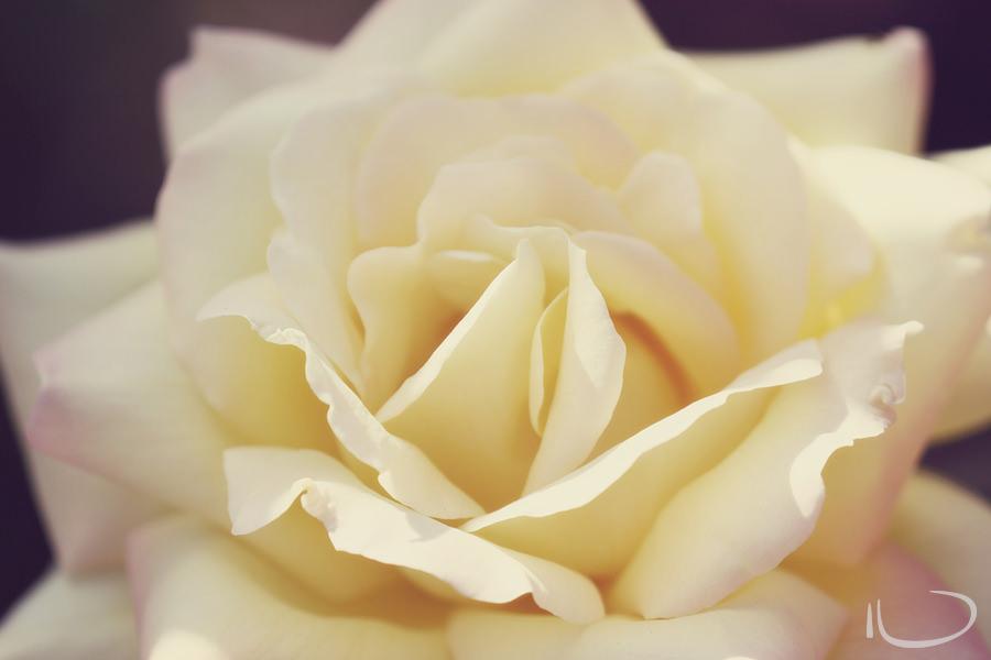 Tasmania Wedding Photographer: White Rose