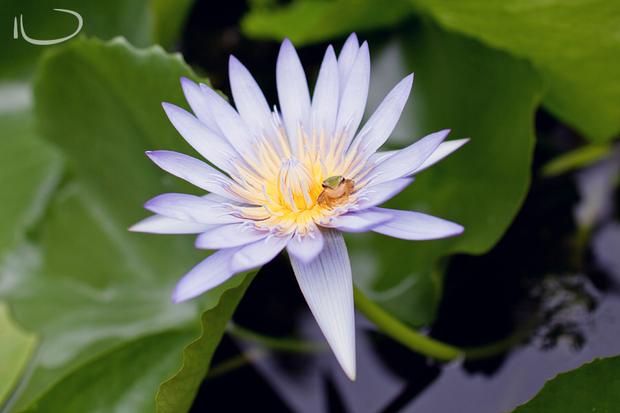 Thailand Destination Photographer: Frog in a Lotus