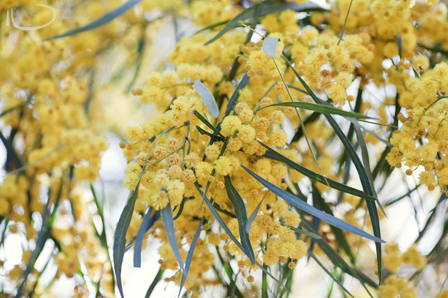 Sydney Photographer: Wattle flowering in spring
