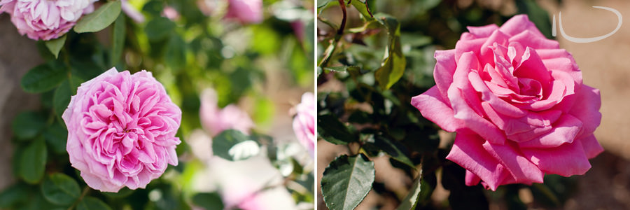 Botanic Gardens Wedding Photographer: Rose Pavillion