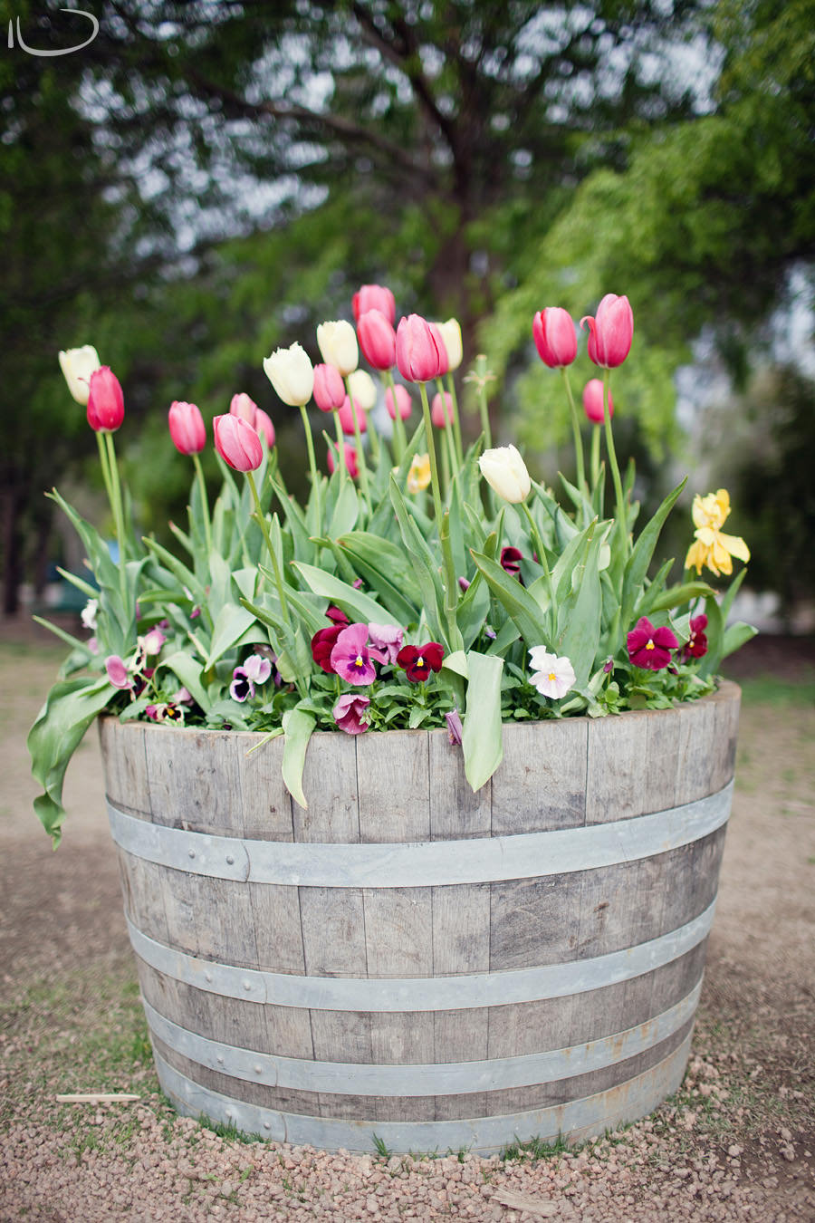 Canberra Floriade Photographer | Tulips in Barrell