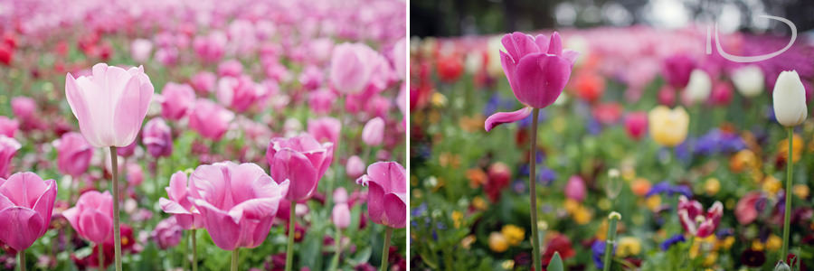 Canberra Floriade Photographer | Tulips